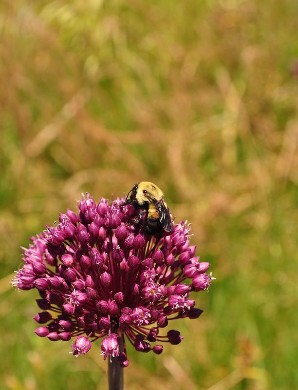Allium ampeloprasum (10)