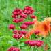 Small photo of Valerian and Poppies