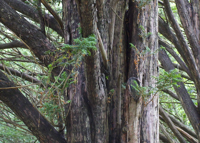Pine ID?