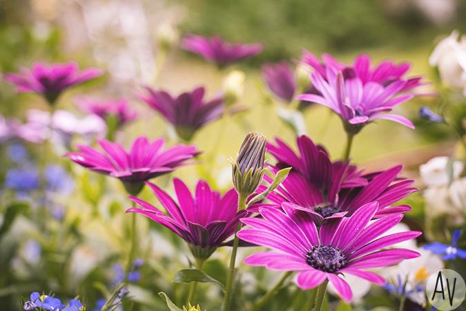 violetitkukat