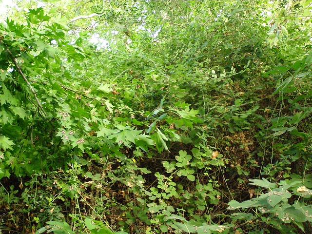 Πεταλούδες Panaxia quadripunctaria πάνω στα φύλλα των βάτων στην κοιλάδα της Ψίνθου