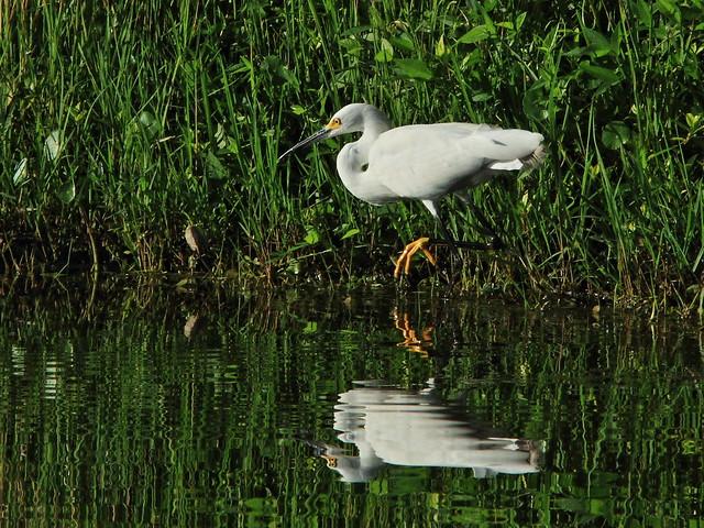 Snowy Egret 4-20140715