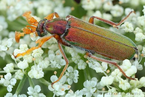 naturallight beetles earlyevening macrophotography coleoptera meloidae blisterbeetle focusstack fieldshooting canoneos5dmarkii canonmpe65mmf28 cerocoma zerenestacker manfrotto055protripod newportm423 sunwayfotoquickreleasesystem