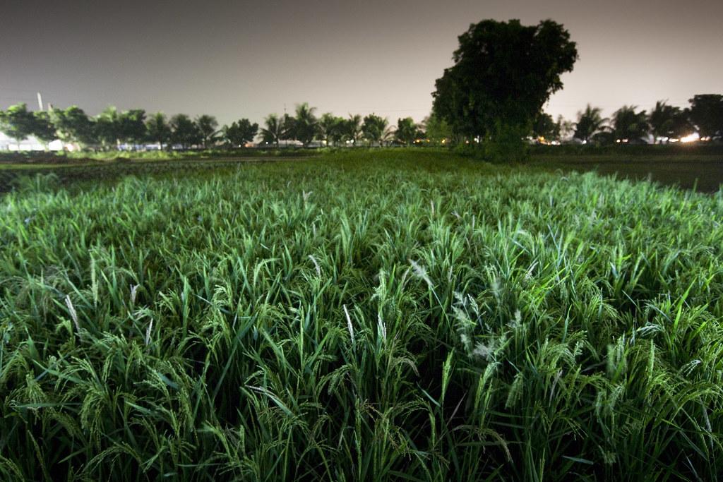 Paddy field 2010