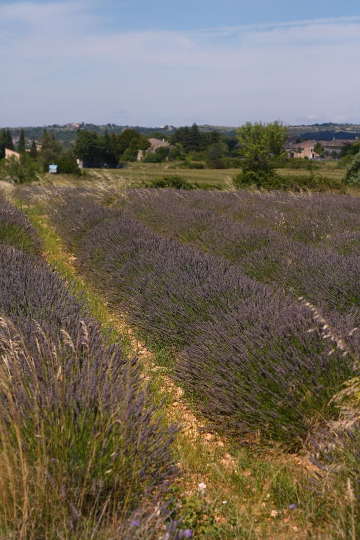 lavender fields ardèche