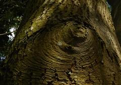 Eye of the tree
