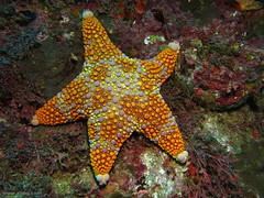 Firebrick Sea Star