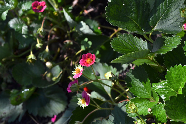 Strawberries (Fragaria  x ananassa 'Tarpan') in the Herb Garden. Photo by Morrigan McCarthy.