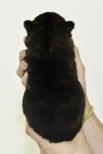 Nori-Litter2-10Days-Puppy5(male)b