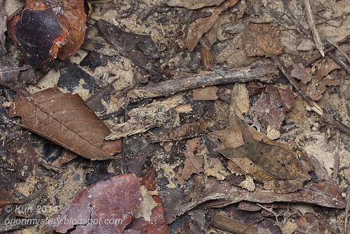 Megophrys nasuta IMG_2984 copy