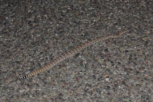 Western Diamond-backed Rattlesnake (Crotalus atrox)