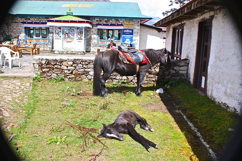 a horse and its child hang out in front of the Tengboche bakery