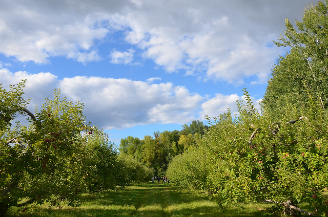 Apple Picking @ Shelburne Orchards