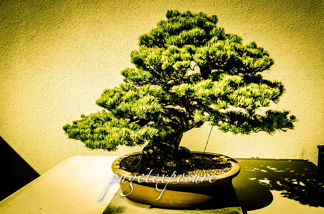 Pacific Rim Bonsai Museum