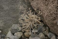 islandic flower