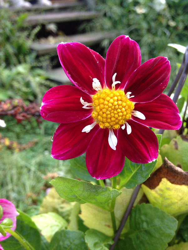 Still here (mini dahlia)