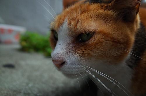 Angry Cat in Akihabara
