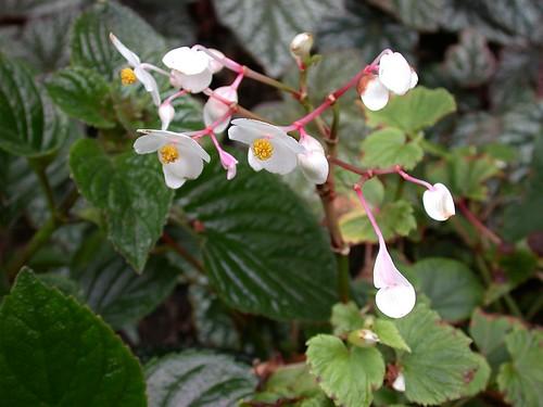 Begonia grandis (white)