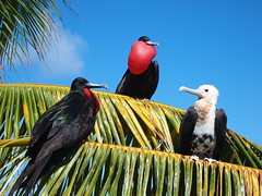 Great frigate birds forage in the waters and nest on the islands and atolls of Pacific Remote Islands Marine National Monument. B. Flint/U.S. Fish and Wildlife Service
