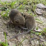 De twee muisjes samen