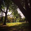 Linden trees in September light.