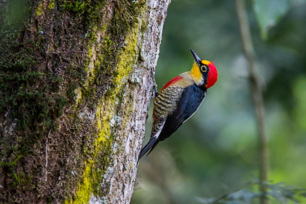 El carpintero arcoíris o carpintero de frente amarilla (Melanerpes flavifrons) es una especie de ave sudamericana de la familia Picidae. Gusta exhibirse y cada individuo posa enfrente de los otros. Anida colectivamente en un hueco de algún árbol seco o una palmera. (Tetsu Espósito)
