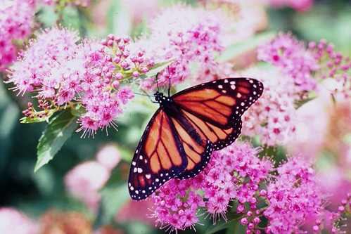 A monarch butterfly on flowers