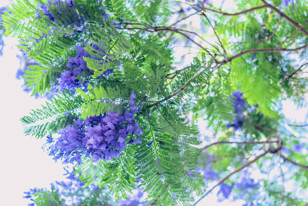 close-up of a purple jacaranda tree branch in bloom