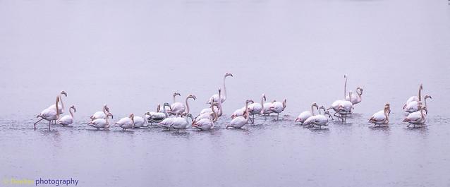 Band of Flamingos marching