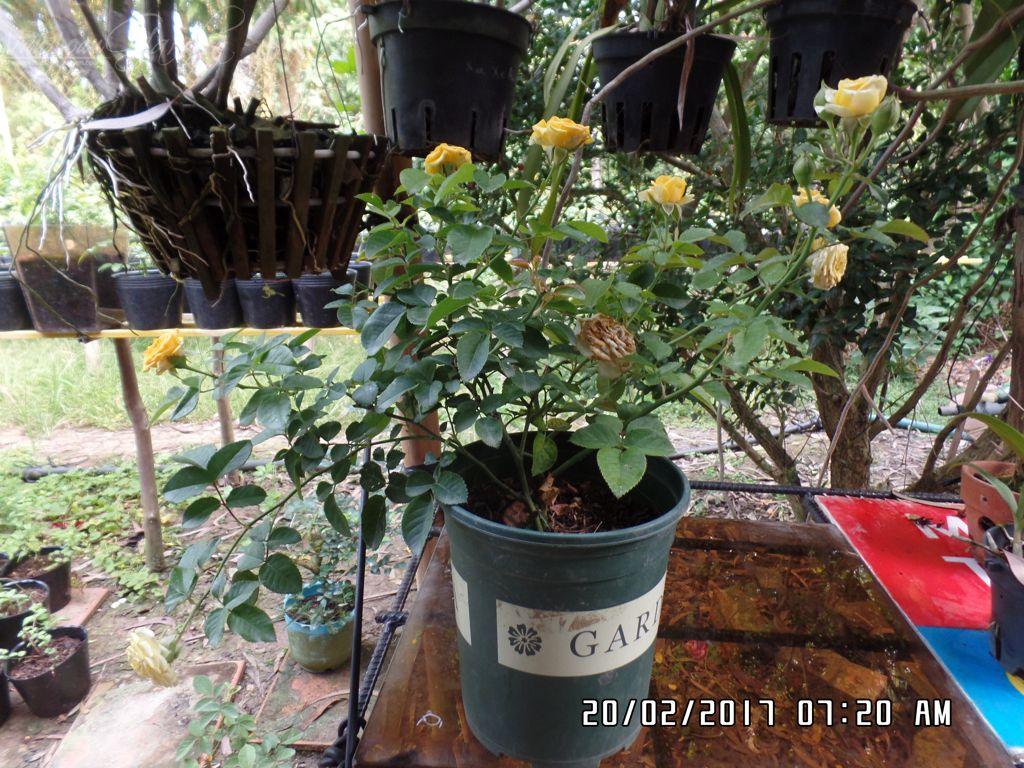 su dung xi than to ong de trong hoa hong (1)+vuonhongvanloan.com.JPG