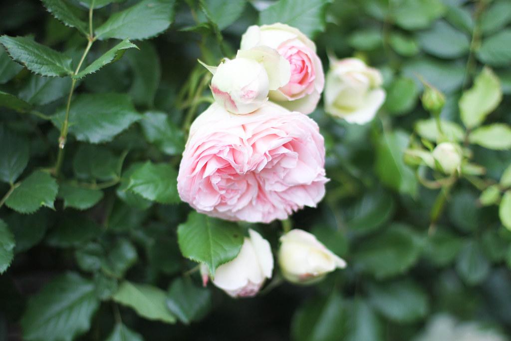 Palais Royal roses-6.jpg