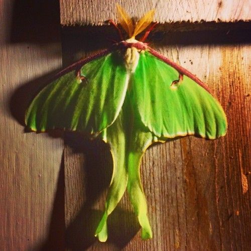 Moon moth. #beauty #ThingsThatGoBumpInTheNight