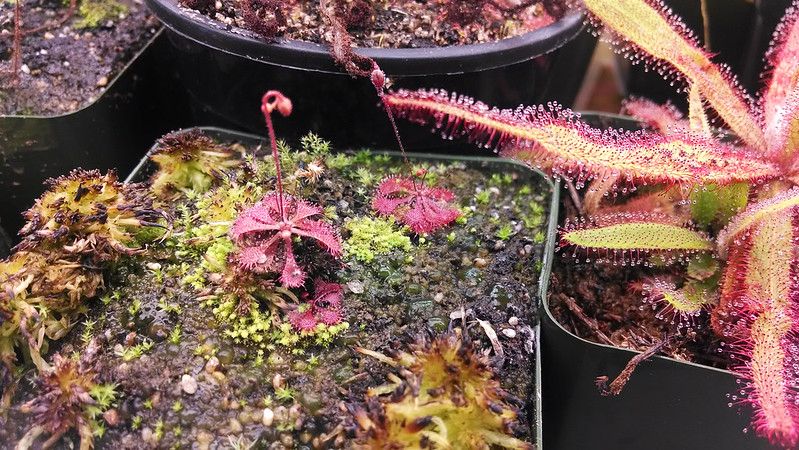 Drosera brevifolia blooming.