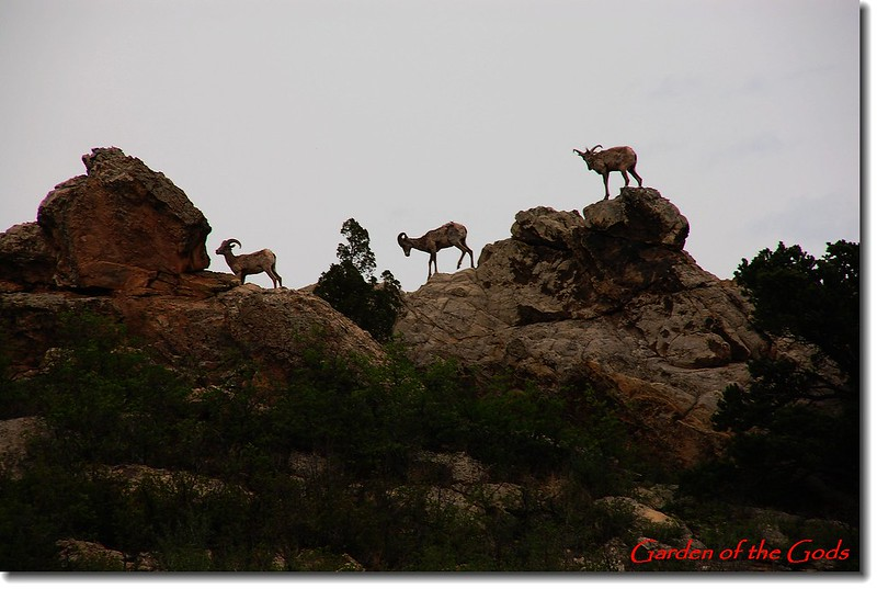 Big horn sheep in Garden of the Gods