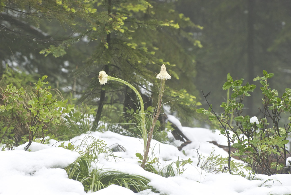 Beargrass in June snow