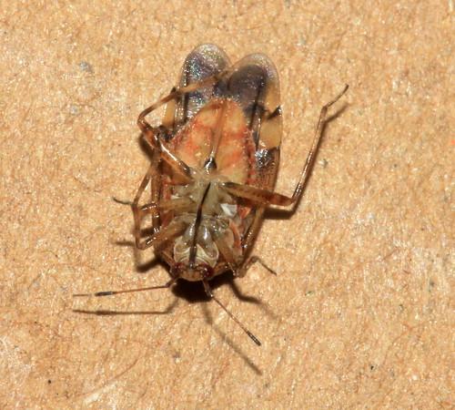 Deraeocoris flavilinea 29392
