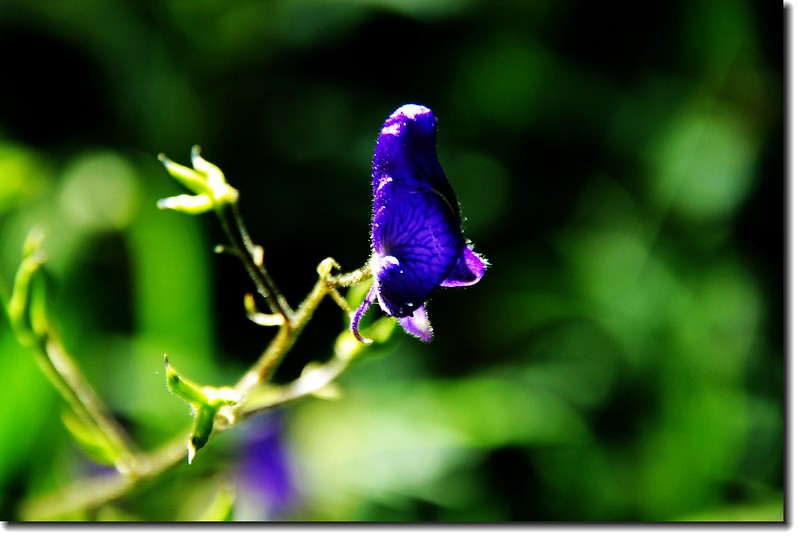 Monkshood 1