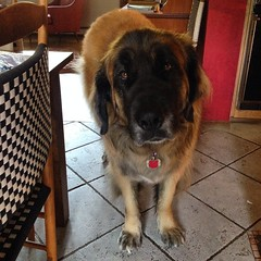 dog breed, animal, dog, leonberger, pet, mammal,