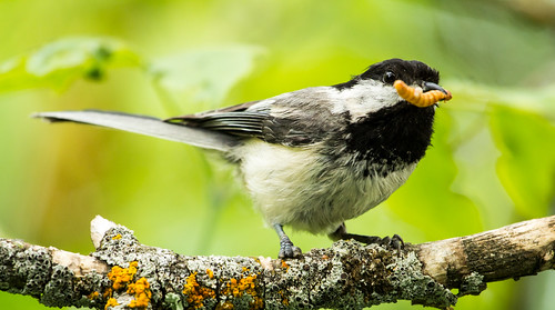 """Ahab"" the Black-capped Chickadee"
