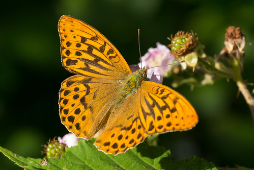butterfly somerset lepidoptera fritillary argynnis paphia silverwashed