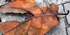 Rubber Tree Leaf (1)