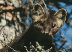 mink(0.0), animal(1.0), mustelidae(1.0), mammal(1.0), fauna(1.0), marten(1.0), wildlife(1.0),