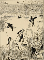 "Image from page 427 of ""Useful birds and their protection. Containing brief descriptions of the more common and useful species of Massachusetts, with accounts of their food habits, and a chapter on the means of attracting and protecting birds"" (1907)"