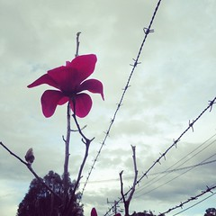 Giant #magnolia against the #cloudy #sky