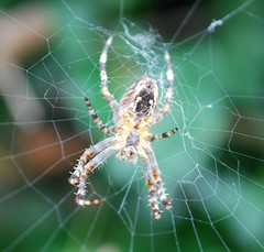arthropod, argiope, animal, spider, araneus, organism, invertebrate, macro photography, european garden spider, fauna, close-up, spider web,