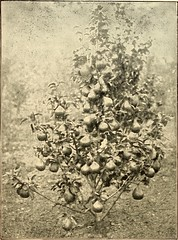 """Image from page 167 of """"The gardener's assistant; a practical and scientific exposition of the art of gardening in all its branches"""" (1910)"""