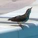 rosemail2009 has added a photo to the pool:Parkesia motacilla Louisiana Waterthrush, Cayman Brac - 31-7
