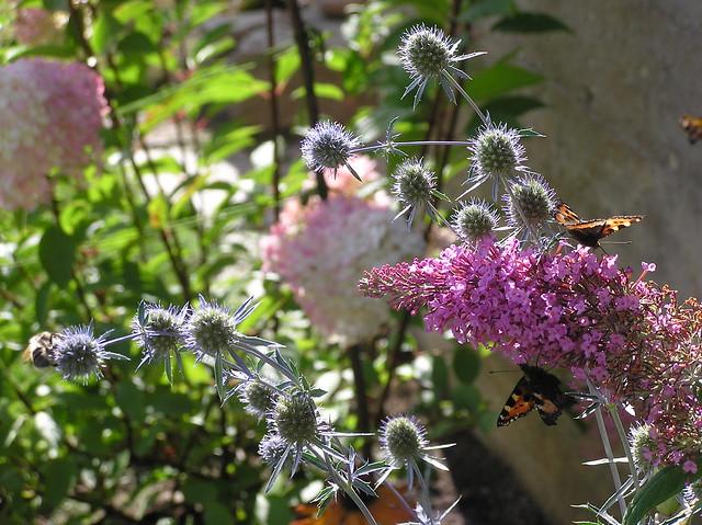 Eryngium planum & Budleja davidii 'Pink Delight'
