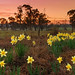 Daffodil Day || CENTRAL TABLELANDS || NSW
