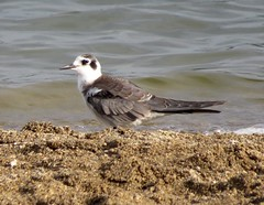 Black Tern/ Deer Creek State Park/ 9-6-2014